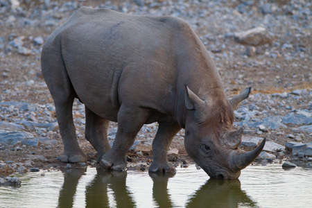 A magnificent rhinoceros drinking water from a lake in the jungle