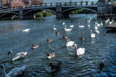 A high angle shot of cute swans hanging out in the river in Windsor, UK Stock fotó