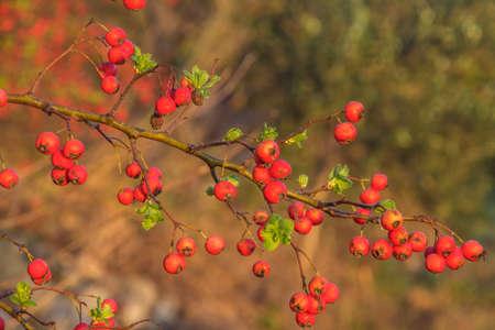 Branch o f Common hawthorn, Oneseed hawthorn, Crataegus monogyna, bearing dark red ripe fruits or haws, botanically pomes. Malta, Mediterranean