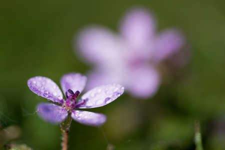 A selective focus shot of a beautiful purple plant from the Polemoniaceae family covered in dew drops 写真素材