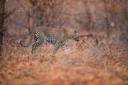 A selective focus shot of a leopard walking in the forest