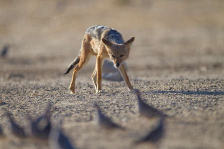 A black-backed sand fox trying to hunt some birds in the desert