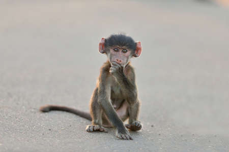 A cute baby monkey sitting on an asphalt road  with his hand under his chin