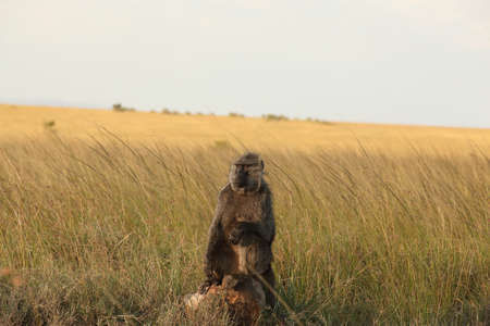 A baboon and her baby resting in the middle of a field covered with tall grass