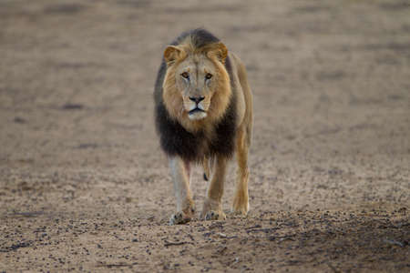 A magnificent powerful lion in the middle of the desert