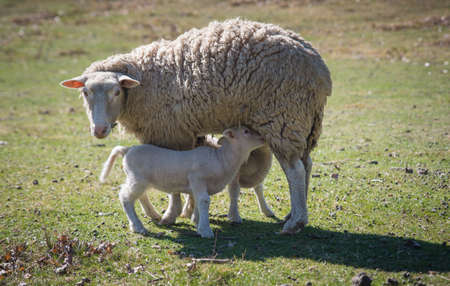 A Merino sheep feeding lambs in a grassy field in New Zeland 版權商用圖片