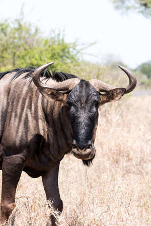 A vertical closeup shot of the head of a buffalo standing in the Kruger National Park