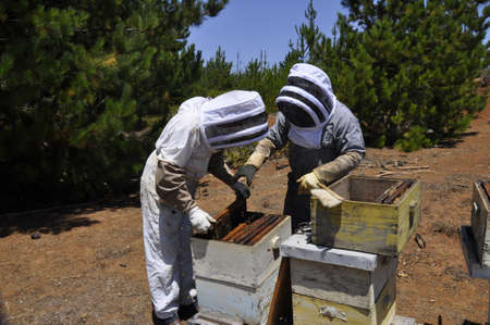 Beekeepers hardly working on getting honeycomb out in order to harvest honey