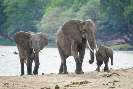 A family of African elephants walking near the river with a forest in the background Stock fotó
