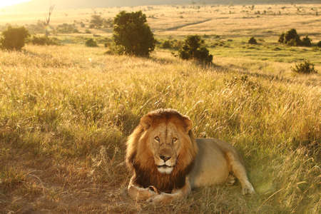 A magnificent lion sitting proudly and powerfully in the middle grass covered field Stock fotó