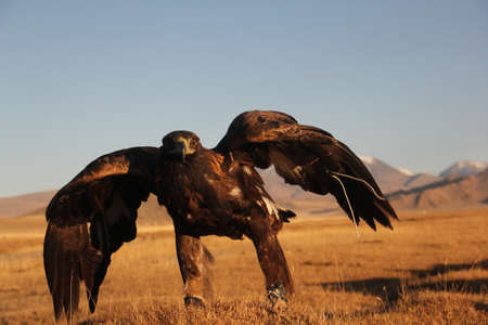 A picture of a golden eagle ready to fly in a deserted area with mountains on the blurry background Stock fotó