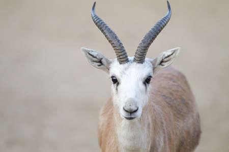 A closeup shot of a gazelle looking at the camera