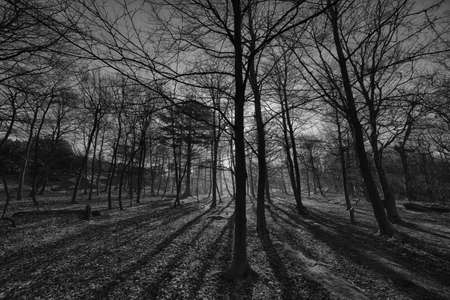 A low angle grayscale shot of tall trees in the middle of the forest during sunset