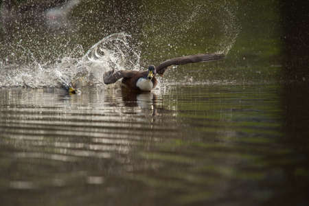 The beautiful ducks swimming and splashing the water in a lake