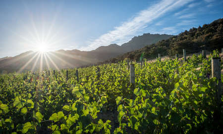 The Central Otago vineyard in New Zealand with the bright sun in the background