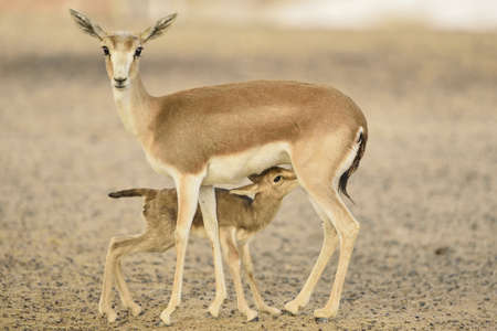 A closeup shot of a baby deer drinking milk from its mother breast