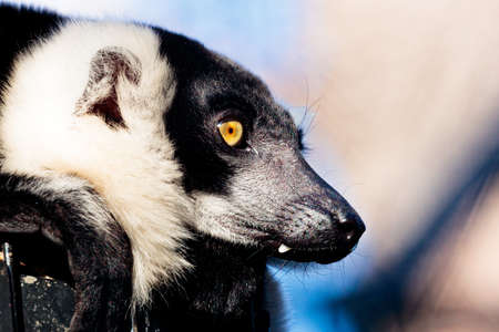 A closeup shot of a black and white ruffed lemur with blurred background Banco de Imagens
