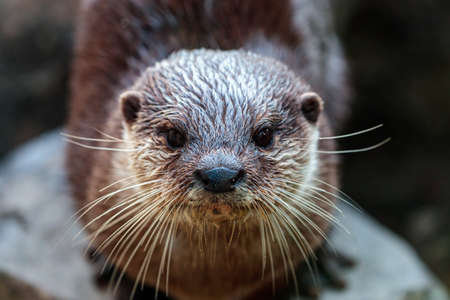 A closeup shot of an Asian small-clawed otter with brown fur with a blurry background Banco de Imagens