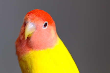A closeup shot of a peach-faced lovebird with colorful feathers against a grey background