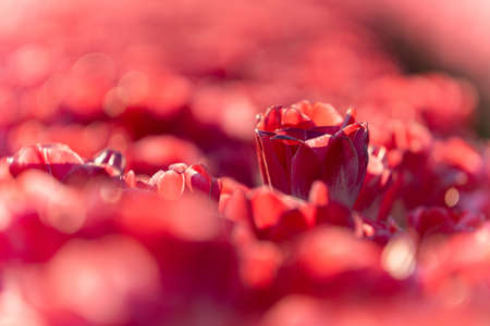 A closeup shot of a beautiful red tulip in a tulip field - concept of standing out