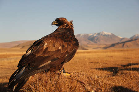 A picture of a golden eagle in a deserted area with mountains on a blurry background during sunset