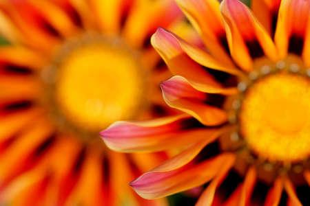 Daisies of fiery hues brighten summer gardens