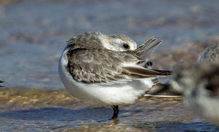A closeup shot of a beautiful dunlin bird drinking water in the lake