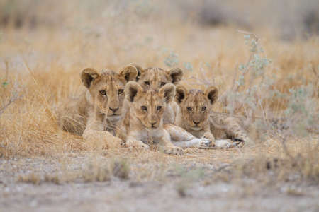 A group of cute baby lions lying among the grass in the middle of a field