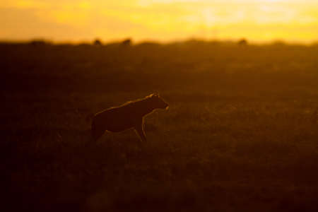 The silhouette of a wolf on a field with the sunset in the background