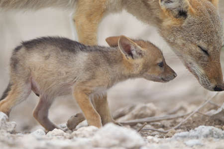 A beautiful shot of a black-backed sand fox and her baby playing on the sand covered ground Stock fotó