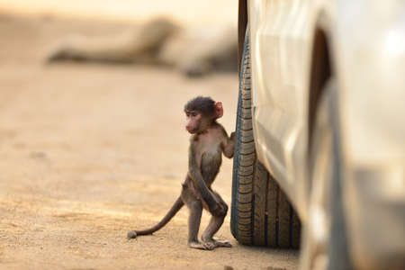 A cute baby baboon by a car tire on a gravel road