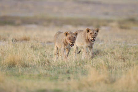 A selective focus shot of two lions walking with their mouths open and looking for pray