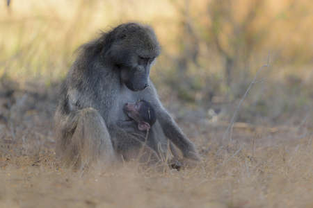 A selective focus shot of a baby baboon sleeping on its mother