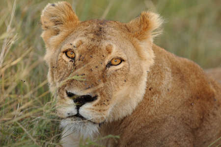 A closeup shot of a lioness in the middle of the grass covered field in the African jungles