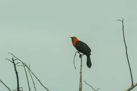 A closeup shot of a beautiful red-winged blackbird sitting on a wooden stick