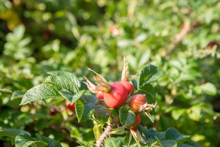 A group of red berries in a field surrounded by greenery with a blurry background under sunlight