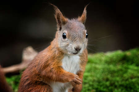 A closeup of a red squirrel in a forest surrounded by greenery with a blurry background