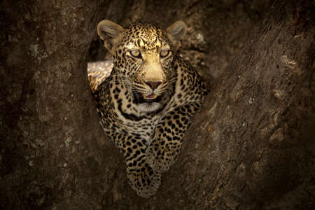 A magnificent African leopard lying on the branch of a tree in the African jungle