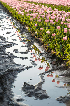 A beautiful shot of reflective rainwater in the middle of a tulips field in the Netherlands