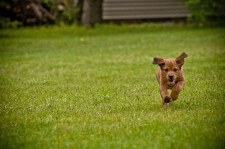 A cute and happy brown dog running on a grassy field