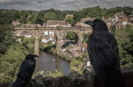 A beautiful view of two ravens over the river in Knaresborough Viaduct, North Yorkshire, UK