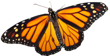 Monarch butterfly on a white background.