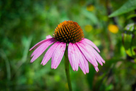 A selective focus shot of a beautiful purple coneflower with blurred green background Stock Photo