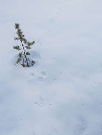 A vertical shot of a small spruce growing in the snow and the traces of a rabbit on the ground Stock Photo