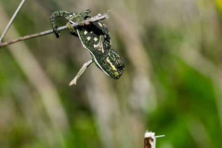 A baby chameleon holding on and trying to balance on a fennel twig, using its tail and legs. Maltese Islands, Malta