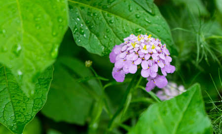 A selective focus shot of beautiful purple lantana camara flowers surrounded by green leaves