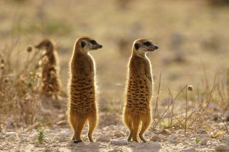 Meerkats on guard at dusk in the Kalahari desert Botswana.