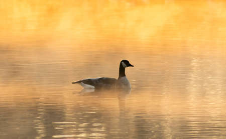 A single duck swimming in a lake enveloped with fog during sunset Imagens