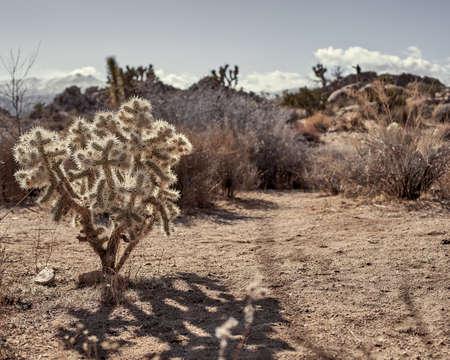 A closeup shot of a Teddy-bear cholla in the desert in Southern California