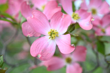 A selective focus shot of beautiful pink dogwood flowers with blurred background